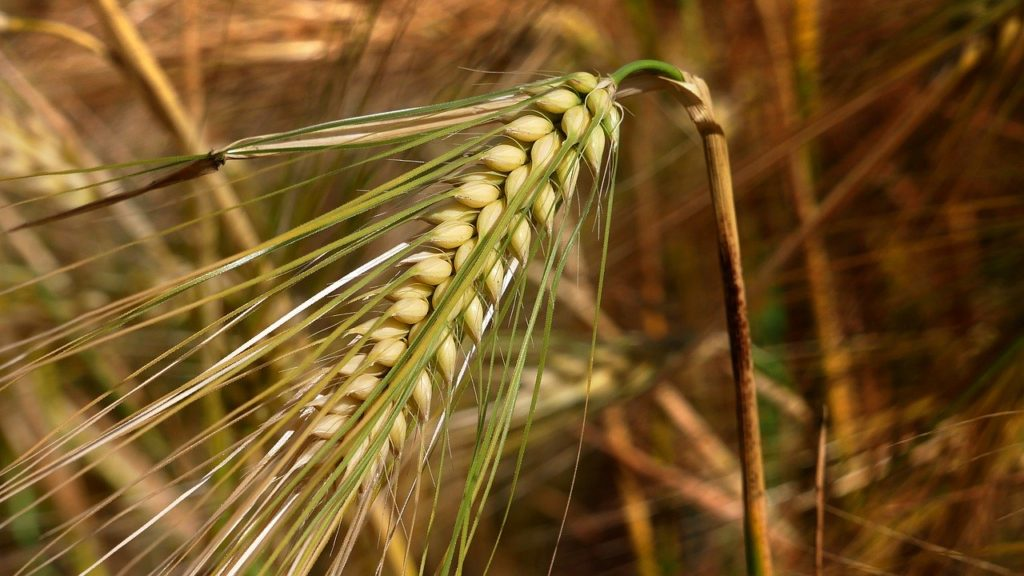 Barley plant on the field