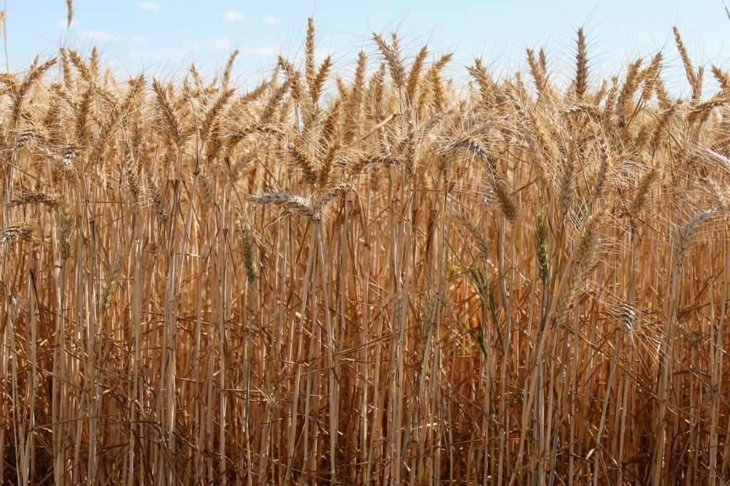 Wheat plant on the field